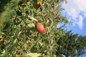 apples at Stein Mountain Farm in Lytton