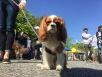 Atlas, the Super-Puppy, Visits Ambleside Artisan Farmers' Market Sign Supplied by Municipality of West Vancouver-