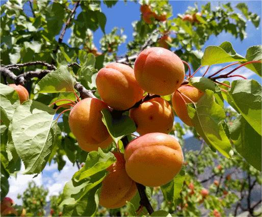 Apricots-Fresh-on-Tree-Snowy-Mountain